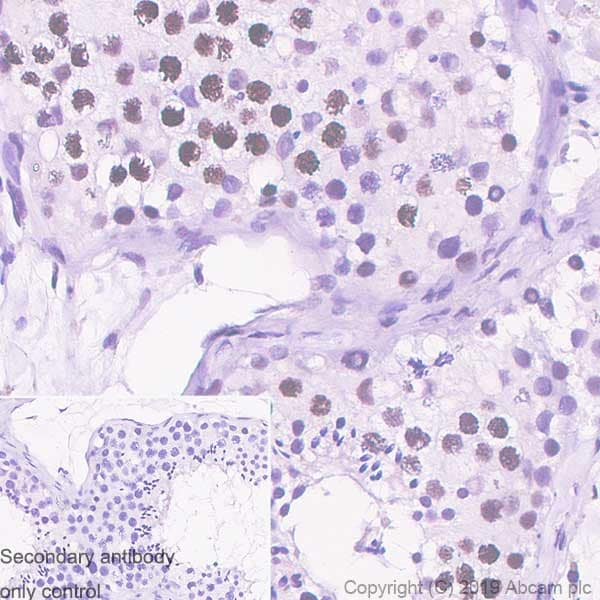 Immunohistochemistry (Formalin/PFA-fixed paraffin-embedded sections) - Anti-Histone H2A.X antibody [EPR22820-23] - ChIP Grade – BSA and Azide free (ab256544)