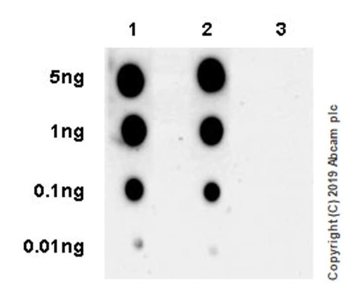 Dot Blot - Anti-Glucocorticoid Receptor (phospho S226) antibody [EPR22216-414] - BSA and Azide free (ab256549)