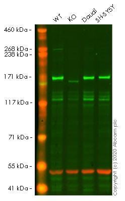 Western blot - Human EEA1 knockout HeLa cell lysate (ab256897)
