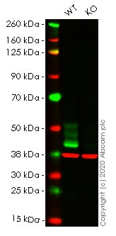 Western blot - Human FAS knockout HeLa cell lysate (ab256911)