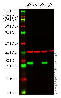 Western blot - Human HSPB1 knockout HeLa cell lysate (ab256945)