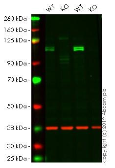 Western blot - Human KDM1A knockout HeLa cell lysate (ab256965)
