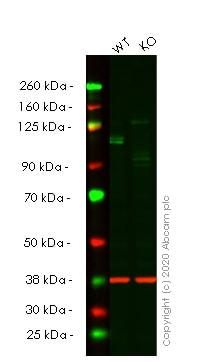 Western blot - Human KDM1A (LSD1) knockout HeLa cell lysate (ab256965)