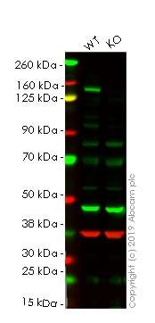 Western blot - Human MET knockout HeLa cell lysate (ab256991)