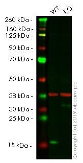 Western blot - Human TSPO (PBR) knockout HeLa cell lysate (ab257066)