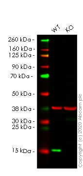 Western blot - Human TSPO (PBR) knockout HCT116 cell lysate (ab257067)