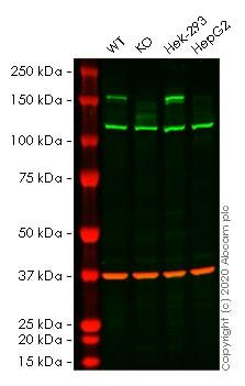 Western blot - Human EHMT2 knockout HeLa cell lysate (ab257080)