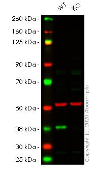 Western blot - Human CDK6 knockout HeLa cell lysate (ab257088)