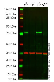 Western blot - Human RAF1 knockout HeLa cell lysate (ab257126)