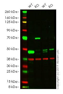 Western blot - Human ASS1 knockout HeLa cell lysate (ab257143)