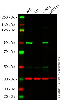 Western blot - Human MLH1 knockout HeLa cell lysate (ab257172)