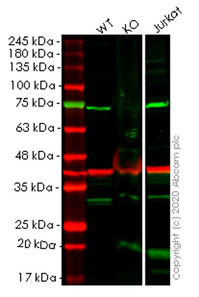 Western blot - Human COIL knockout HeLa cell lysate (ab257251)