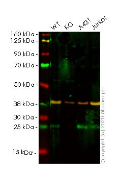 Western blot - Human FADD knockout HeLa cell lysate (ab257261)