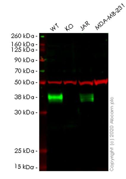 Western blot - Human FOLR1 knockout HeLa cell lysate (ab257270)