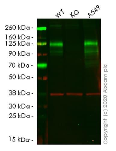 Western blot - Human CEACAM1 knockout A549 cell lysate (ab257388)
