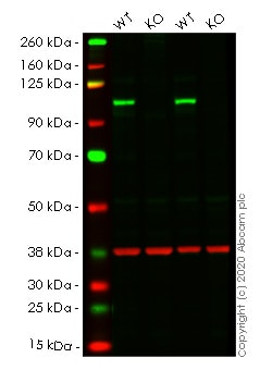 Western blot - Human DAXX knockout HeLa cell lysate (ab257408)