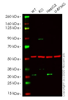 Western blot - Human GMNN knockout HeLa cell lysate (ab257450)