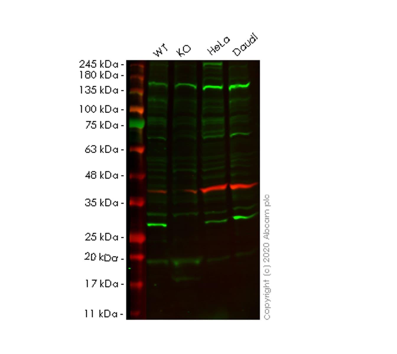 Western blot - Human GSTK1 knockout HEK293T cell lysate (ab257461)