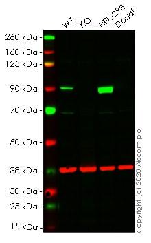 Western blot - Human GYS1 knockout HeLa cell lysate (ab257462)