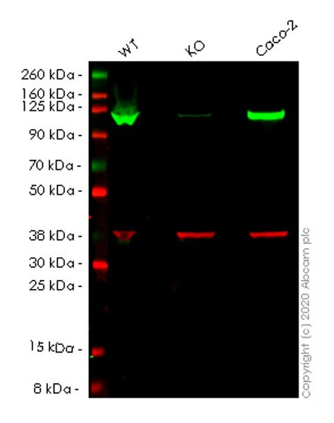 Western blot - Human MVP knockout HeLa cell lysate (ab257544)