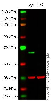 Western blot - Human PAK2 knockout HeLa cell lysate (ab257573)