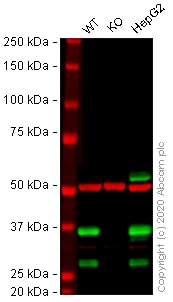 Western blot - Human SCD (SCD1) knockout HeLa cell lysate (ab257658)