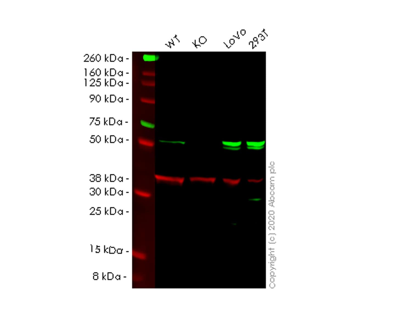 Western blot - Human SESN2 knockout HeLa cell lysate (ab257665)