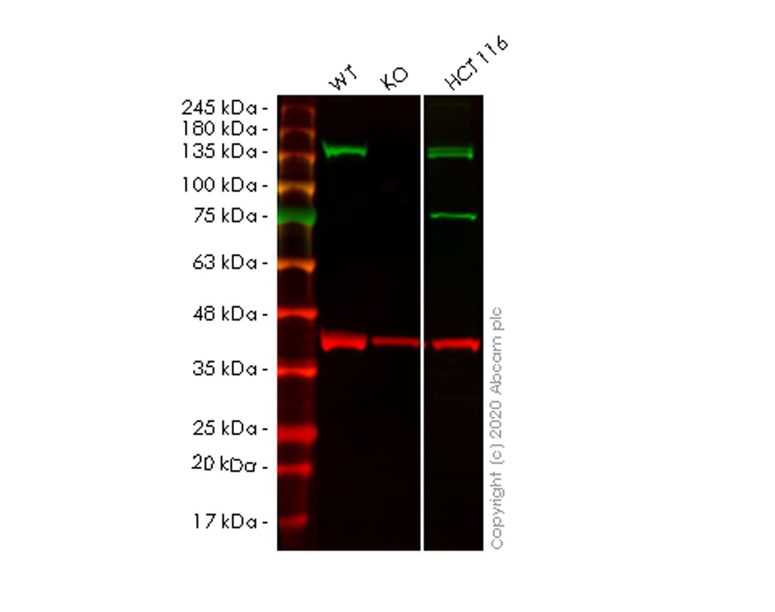 Western blot - Human STAG2 knockout HeLa cell lysate (ab257707)