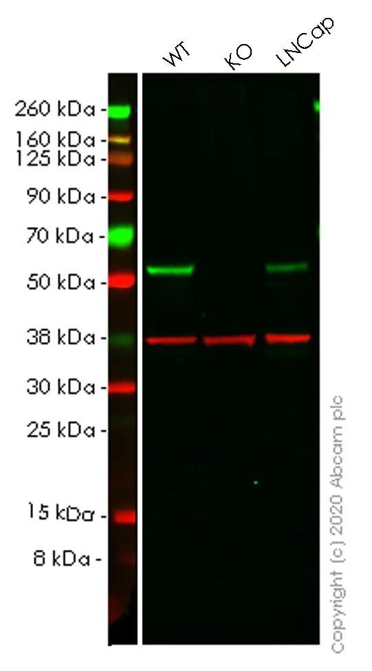 Western blot - Human SUFU knockout HEK293T cell lysate (ab257718)