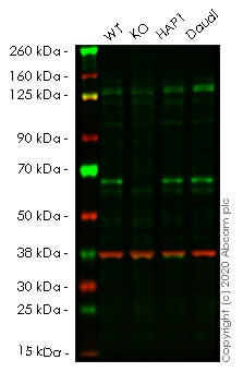 Western blot - Human TRAF6 knockout HeLa cell lysate (ab257760)