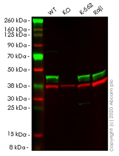 Western blot - Human ADRM1 (ARM-1) knockout HEK293T cell lysate (ab257816)