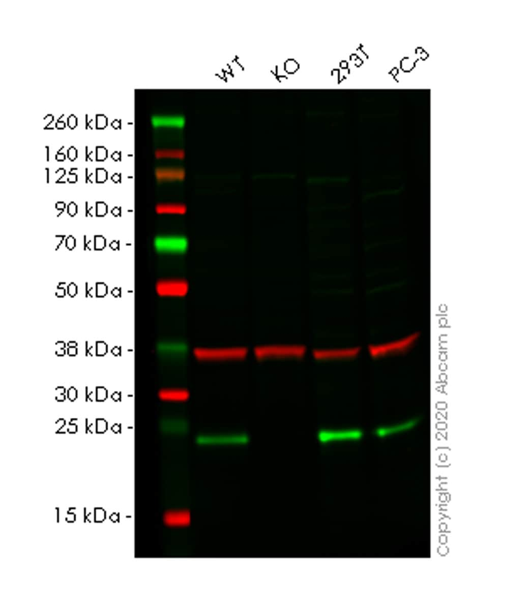 Western blot - Human AES (Amino-terminal enhancer of split) knockout HCT116 cell lysate (ab257818)