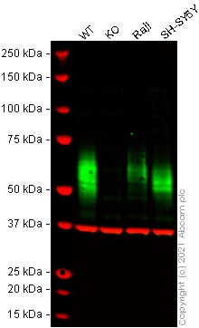 Human CD58 knockout HeLa cell lysate (ab257880)