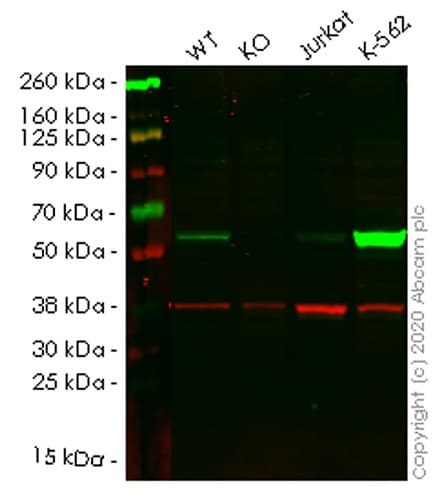 Western blot - Human MPP1 knockout HEK293T cell lysate (ab258051)