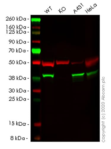 Western blot - Human NSDHL knockout HEK293T cell lysate (ab258082)