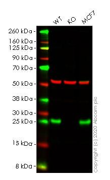 Western blot - Human RALA knockout HeLa cell lysate (ab258165)
