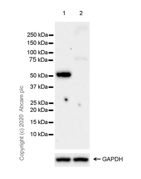 Western blot - Anti-Cannabinoid Receptor I antibody [EPR23934-20] (ab259323)