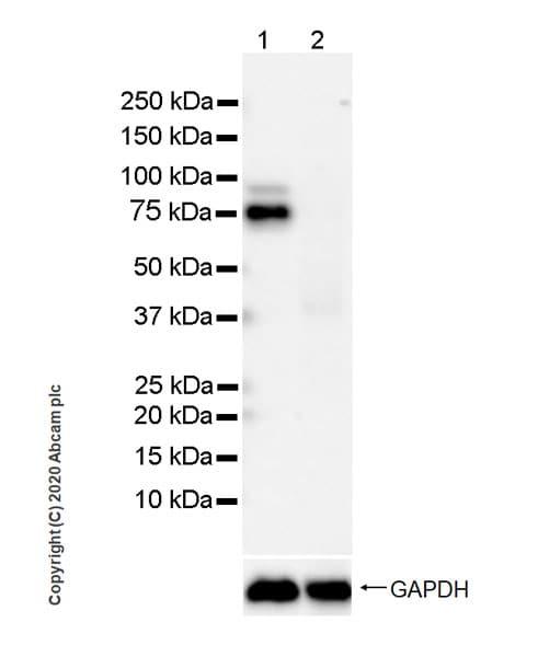 Western blot - Anti-FMRP antibody [EPR23852-90] (ab259335)
