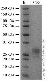 SDS-PAGE - Recombinant human Interferon gamma protein (Active) (ab259377)