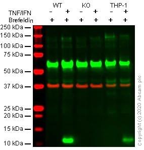 Western blot - Recombinant Human Interferon gamma protein (Active) (ab259377)