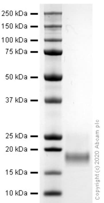 SDS-PAGE - Recombinant mouse Interferon gamma protein (Active) (ab259378)