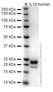 SDS-PAGE - Recombinant human IL-1 beta protein (Active) (ab259387)