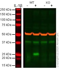 Western blot - Recombinant human IL-1 beta protein (Active) (ab259387)