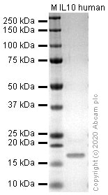 SDS-PAGE - Recombinant human IL-10 protein (Active) (ab259402)