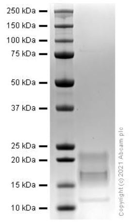 SDS-PAGE - Recombinant human IL-15 protein (Active) (ab259403)