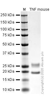 SDS-PAGE - Recombinant mouse TNF alpha protein (ab259411)
