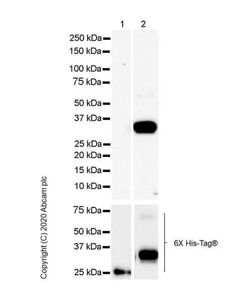 Western blot - Anti-HLA-DPB1 antibody [EPR23947-1] (ab259802)