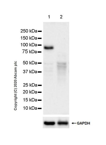 Western blot - Anti-Ataxin 7 antibody [EPR24136-89] (ab259829)