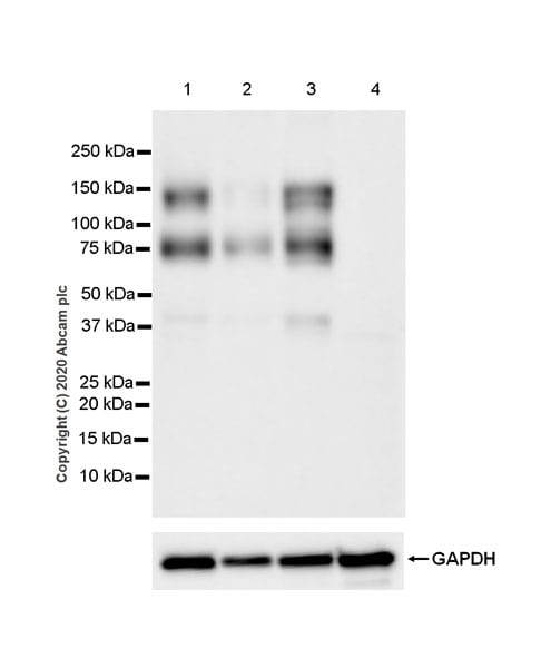 Western blot - Anti-Axl antibody [EPR23892-15] (ab259831)
