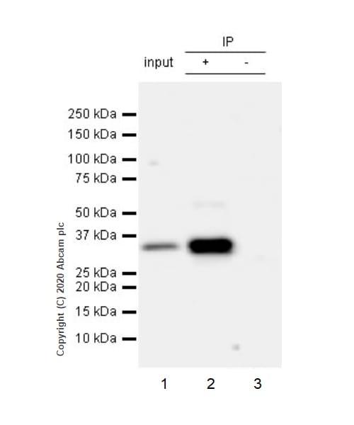 Immunoprecipitation - Anti-ING5 antibody [EPR23930-1] (ab259904)